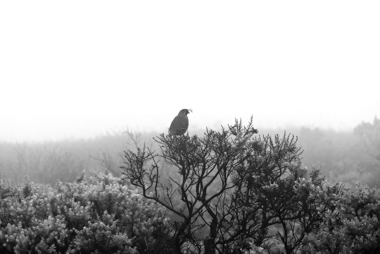 Quail in Fog | Mark Lindsay