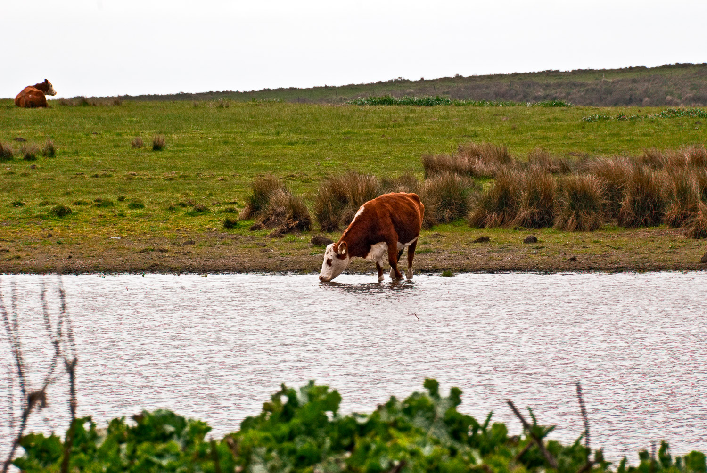 Cow at Pt. Reyes | Mark Lindsay