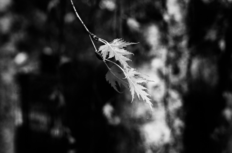 Spring's Leaves | Mark Lindsay