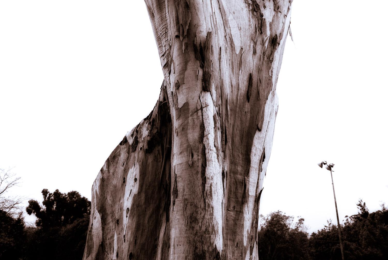 Eucalyptus in Rain   Mark Lindsay