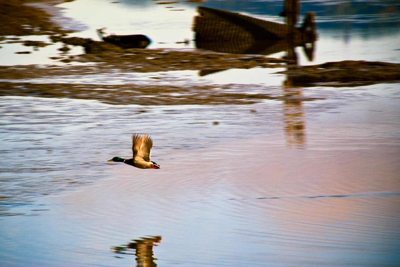 Duck, Marta's Marsh | Mark Lindsay
