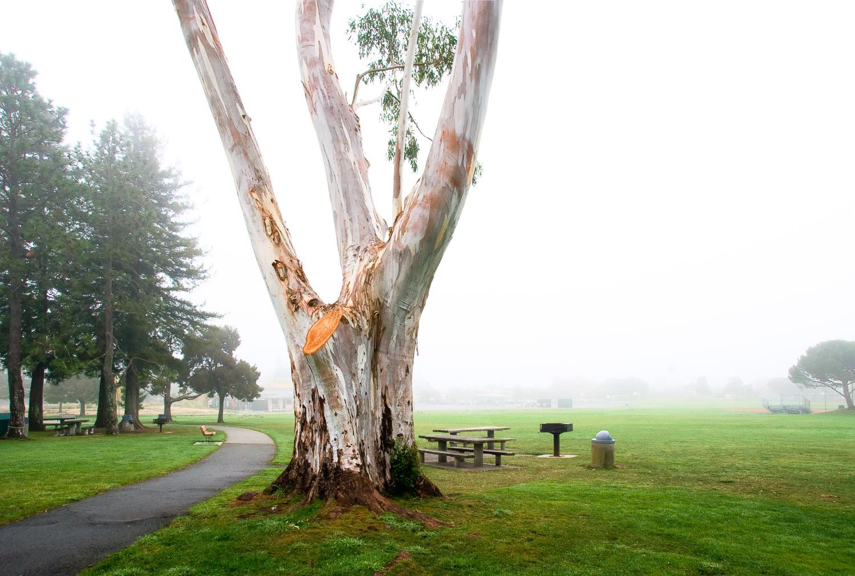 Eucalyptus, Town Park   Mark Lindsay