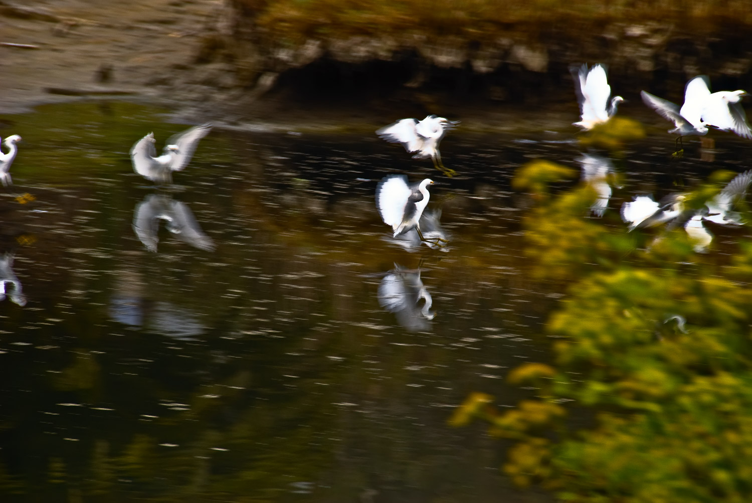 Egrets, Tuesday Morning | Mark Lindsay