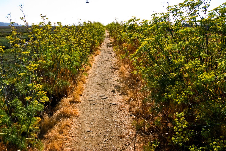 Fennel Forest, Corte Madera Marsh | Mark Lindsay