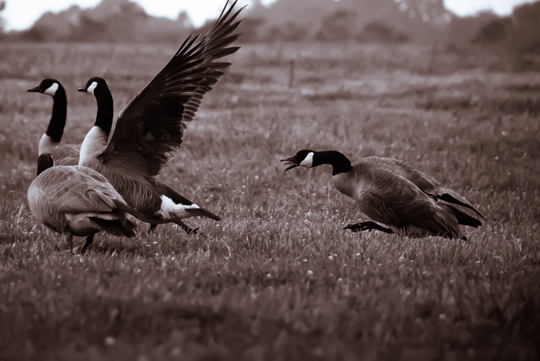 Geese   Mark Lindsay