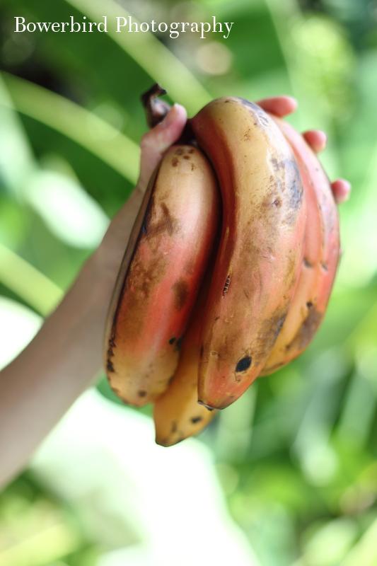 Bowerbird_Photography_red_banana_kauai_hawaii.JPG