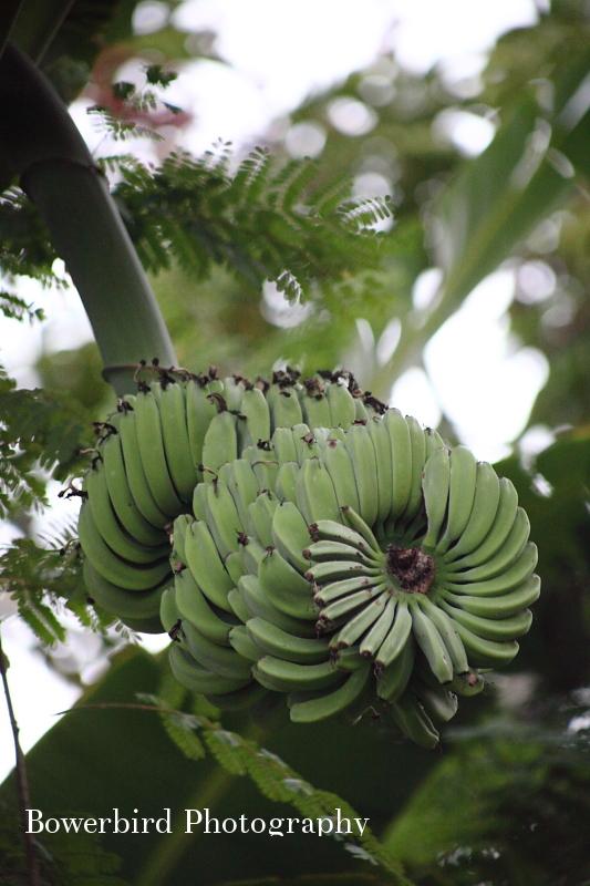 Wild bananas.