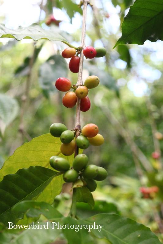 Wild coffee along the Napali Coast.