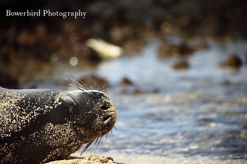 Monk seal sighting!© Bowerbird Photography 2012; Travel Photography Kauai, Hawaii.