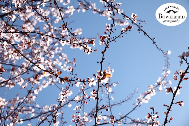 The plum tree in bloom in our backyard. ©Bowerbird Photography 2013.