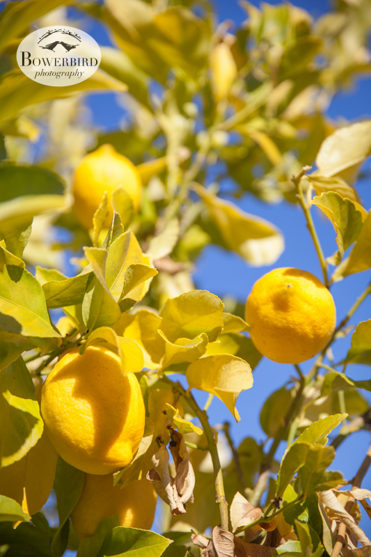 Lemon tree. © Bowerbird Photography 2013, Clos LaChance Winery in San Martin, Wedding Site Visit.