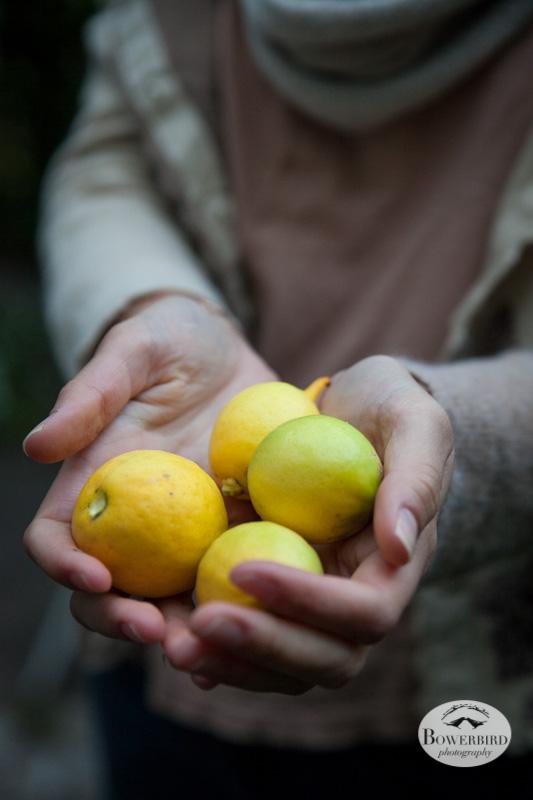 Meyer lemons. © Bowerbird Photography 2013.
