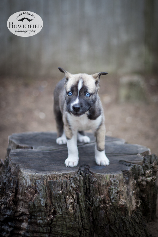 Puppy portrait, taken in San Francisco. © Bowerbird Photography 2013, puppy standing on a stump.