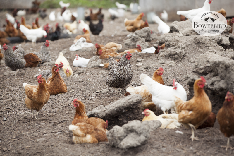 Gospel Flats Farm in Bolinas. © Bowerbird Photography 2013.