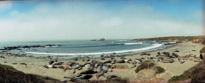 Elephant sea lions on the California coast, Horizon Perfekt, 35mm
