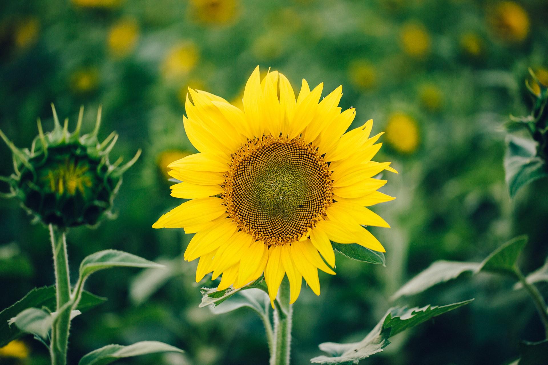 Cleveland Sunflower Field Photos-1.jpg