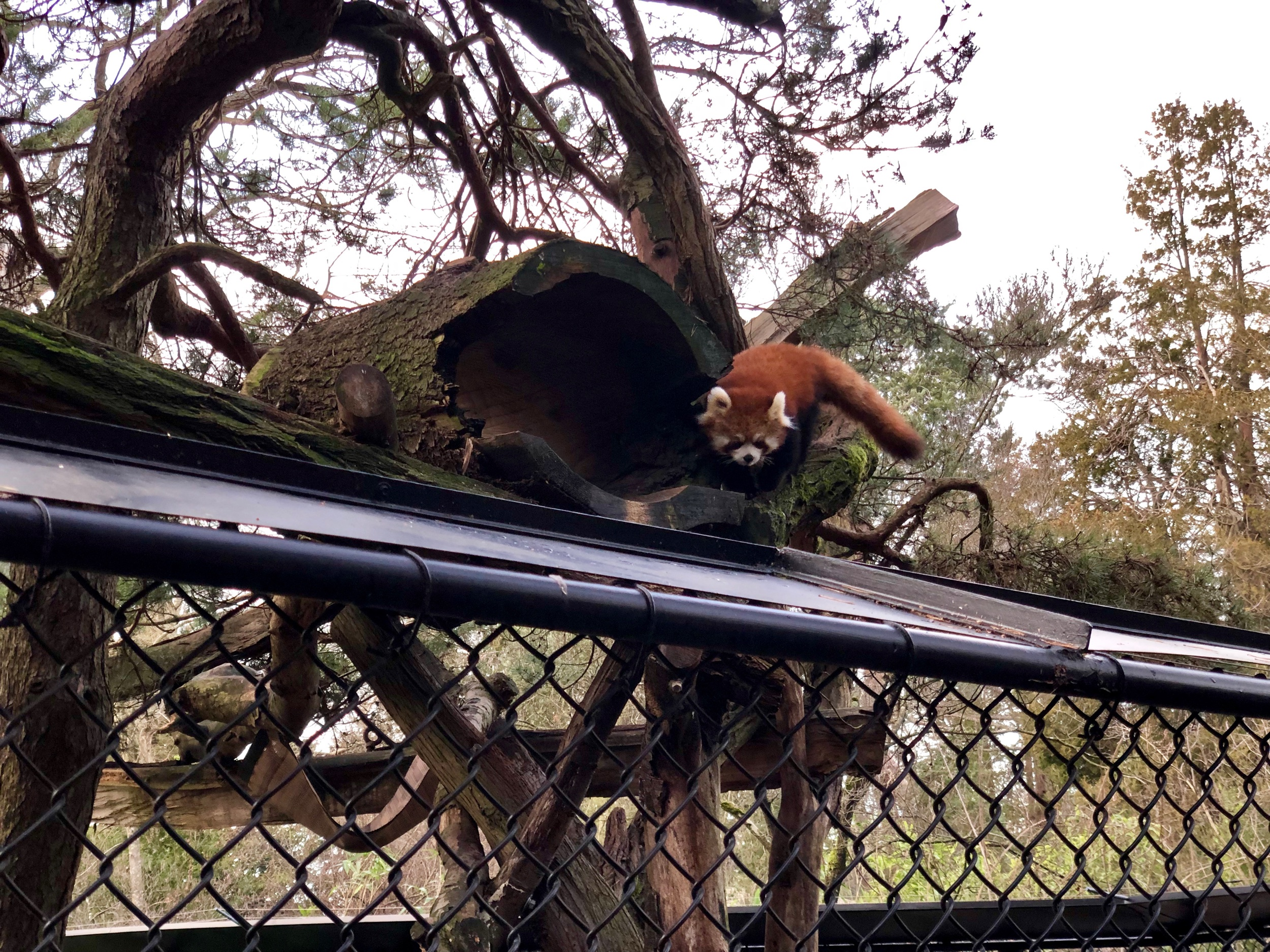 Red pandas being my son's favourite animal was also a bonus of an annual membership. - They are an adorable animal.