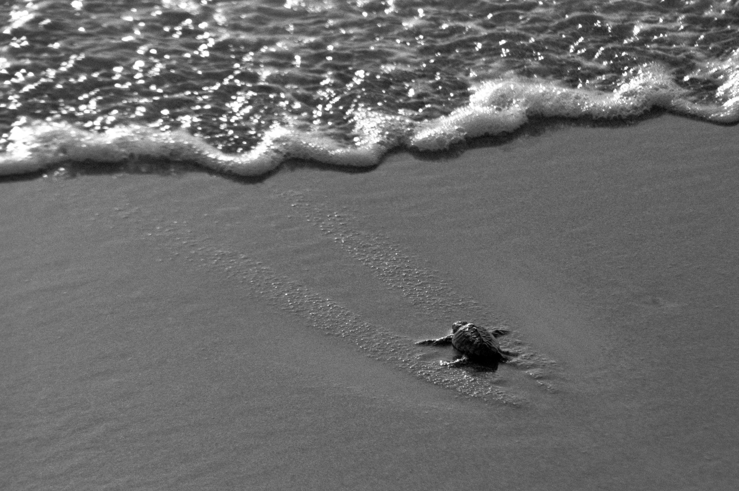 Starfish_Turtle3_BW.jpg