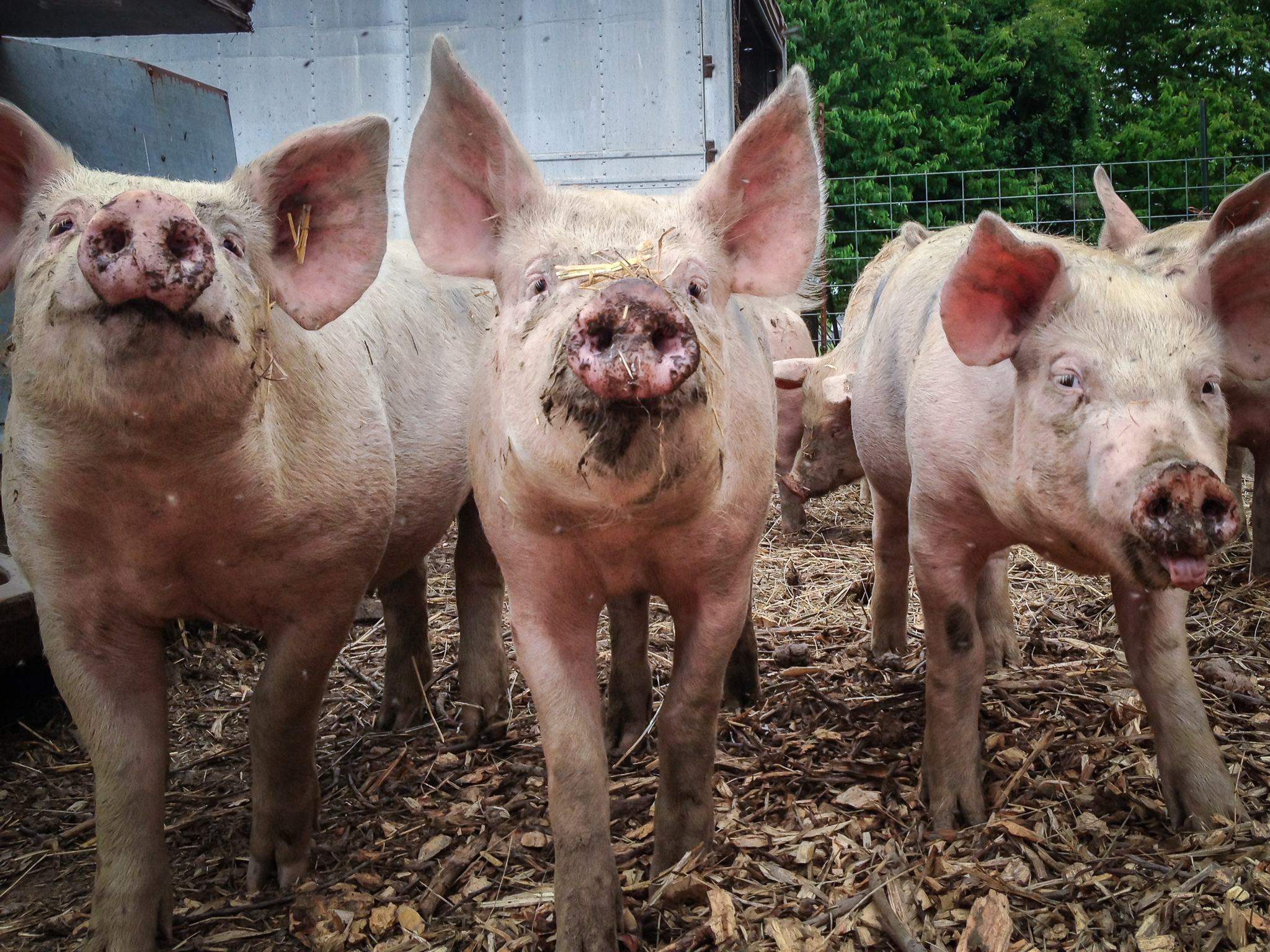 Pete Wright — That'll do, pigs.jpg