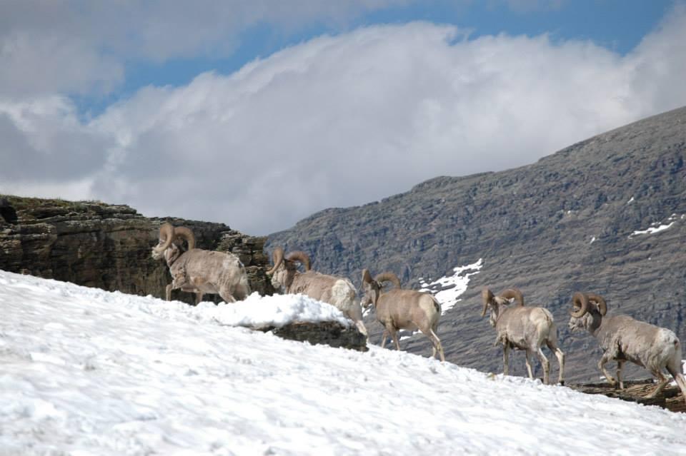 west-wildlife-sheep.jpg