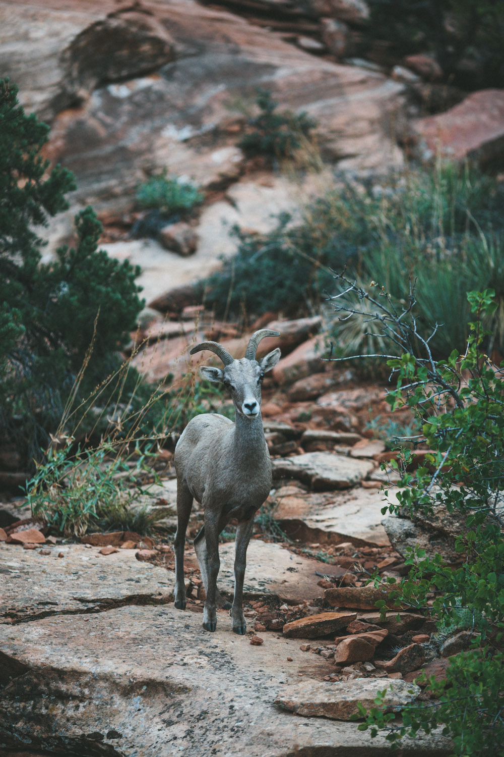 Zion National Park Big Horn Sheep