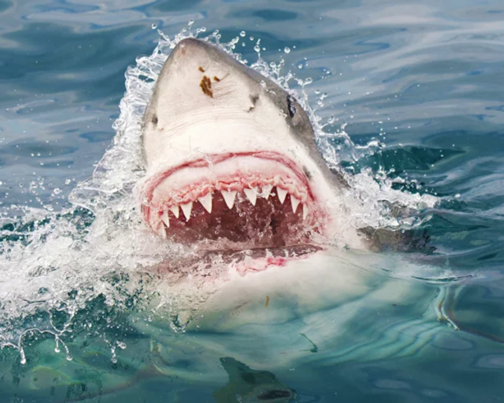 Shark Attacks Graphic