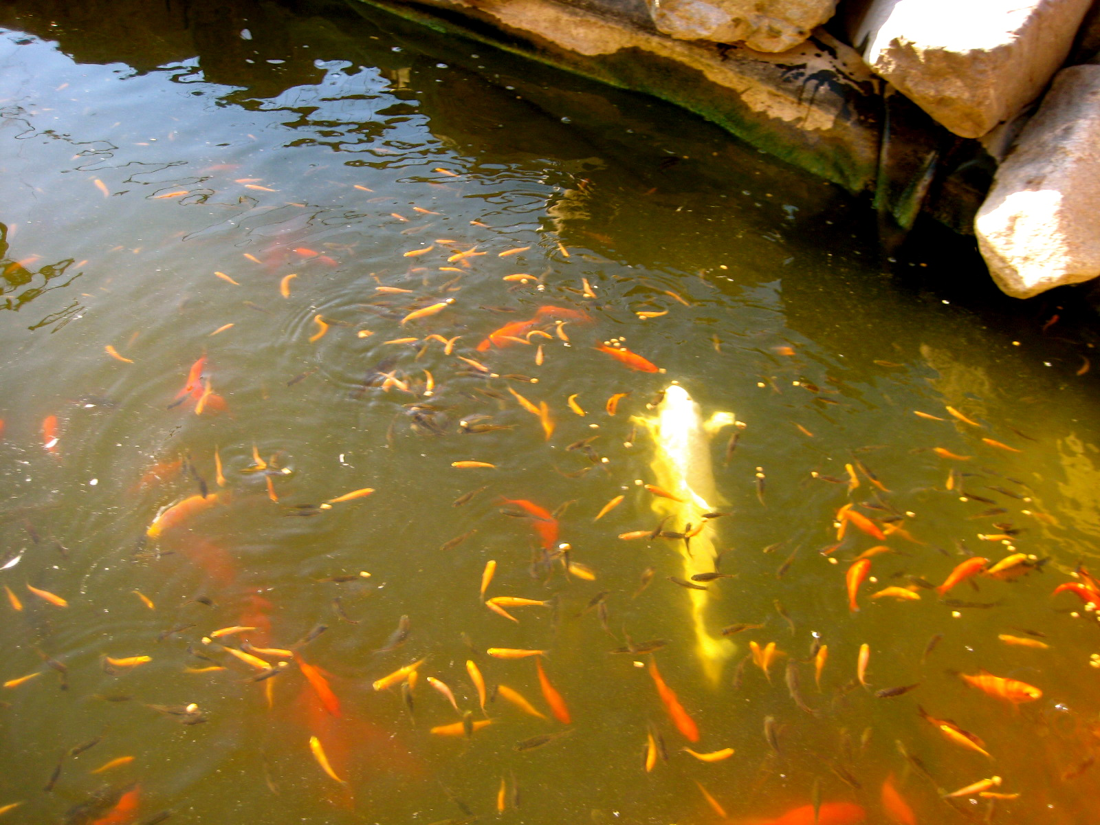 Sometimes larger koi will eat smaller koi.