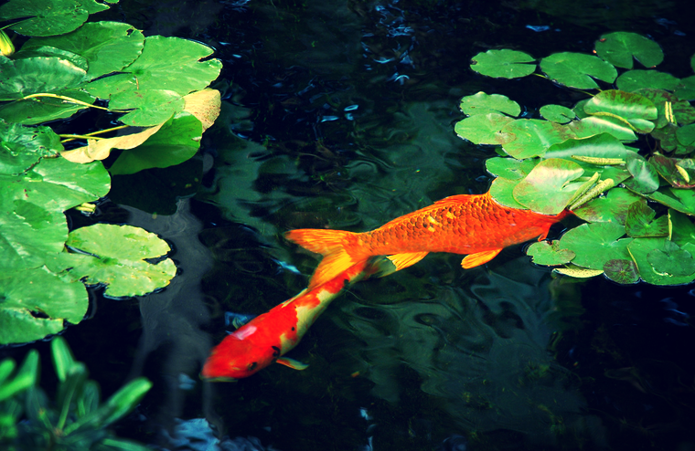 Photosynthesis may cause pond plants to produce too much oxygen in the water that can make your koi sick.