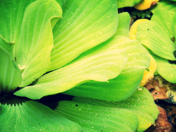 Water lettuce is an inexpensive oxygenating pond plant that provides plenty of shade, reduces algae, and helps balance oxygen levels in the water.