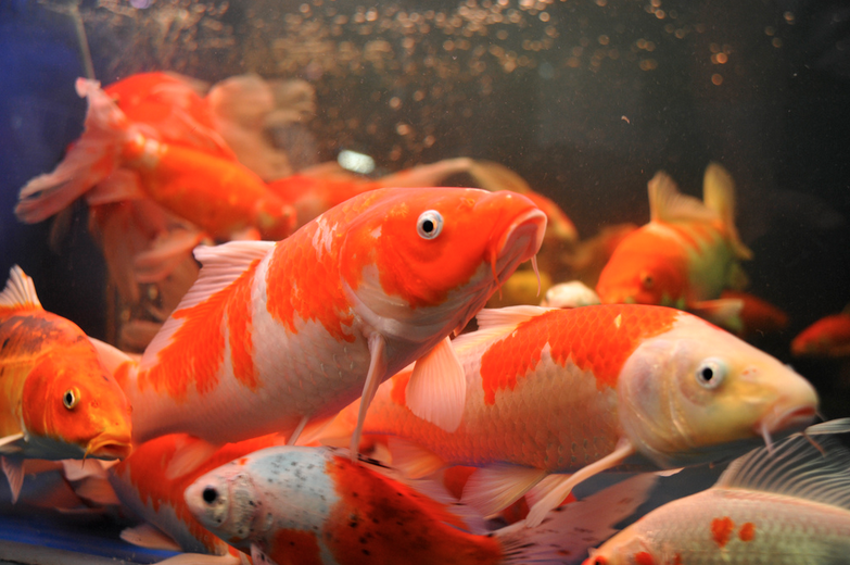 The only way to be halfway sure of traits that will be passed down to koi offspring is by breeding two koi closely related from a similar lineage.