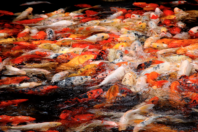 Koi fish produce thousands of eggs when they spawn.