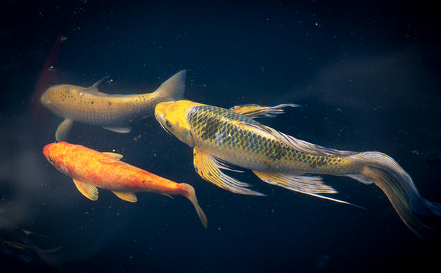 Butterfly koi, while beautiful, have yet to be fully welcomed into the koi community.