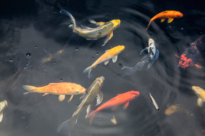 A butterfly koi's fin to body ratio differs from a traditional koi's.
