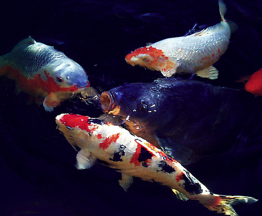 Koi fish produce ammonia as a waste and even a small exposure can prove harmful.