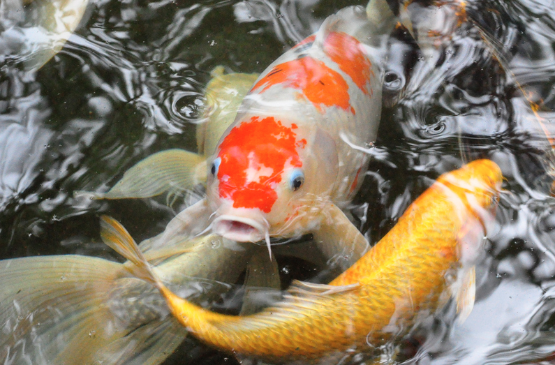 Female koi are larger and rounder than male koi.