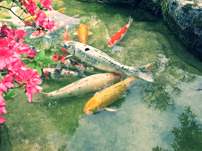 The Asagi is one of the oldest breeds of koi.