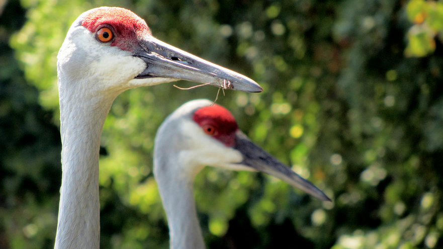 The Tancho koi is named after the Sand Hill Crane, which also has a red dot on its forehead.