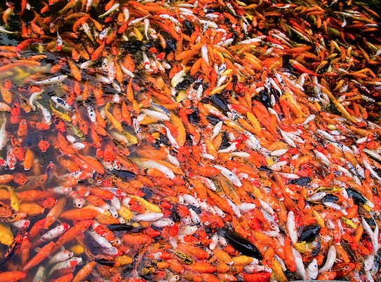 An over-populated pond may cause some strange behavior in your koi.