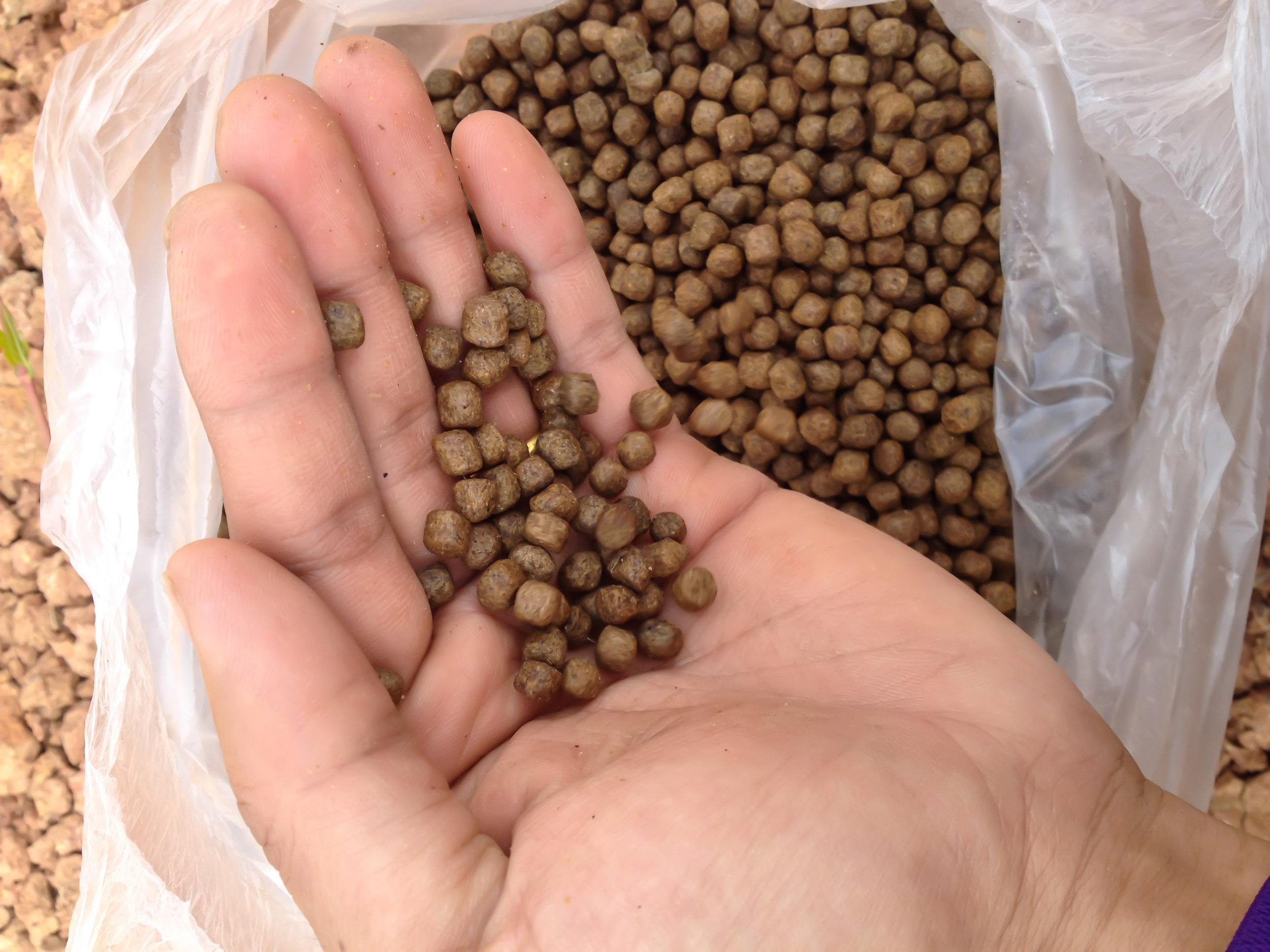 While smaller fish prefer flake food, pellet food shown here is good for larger fish.