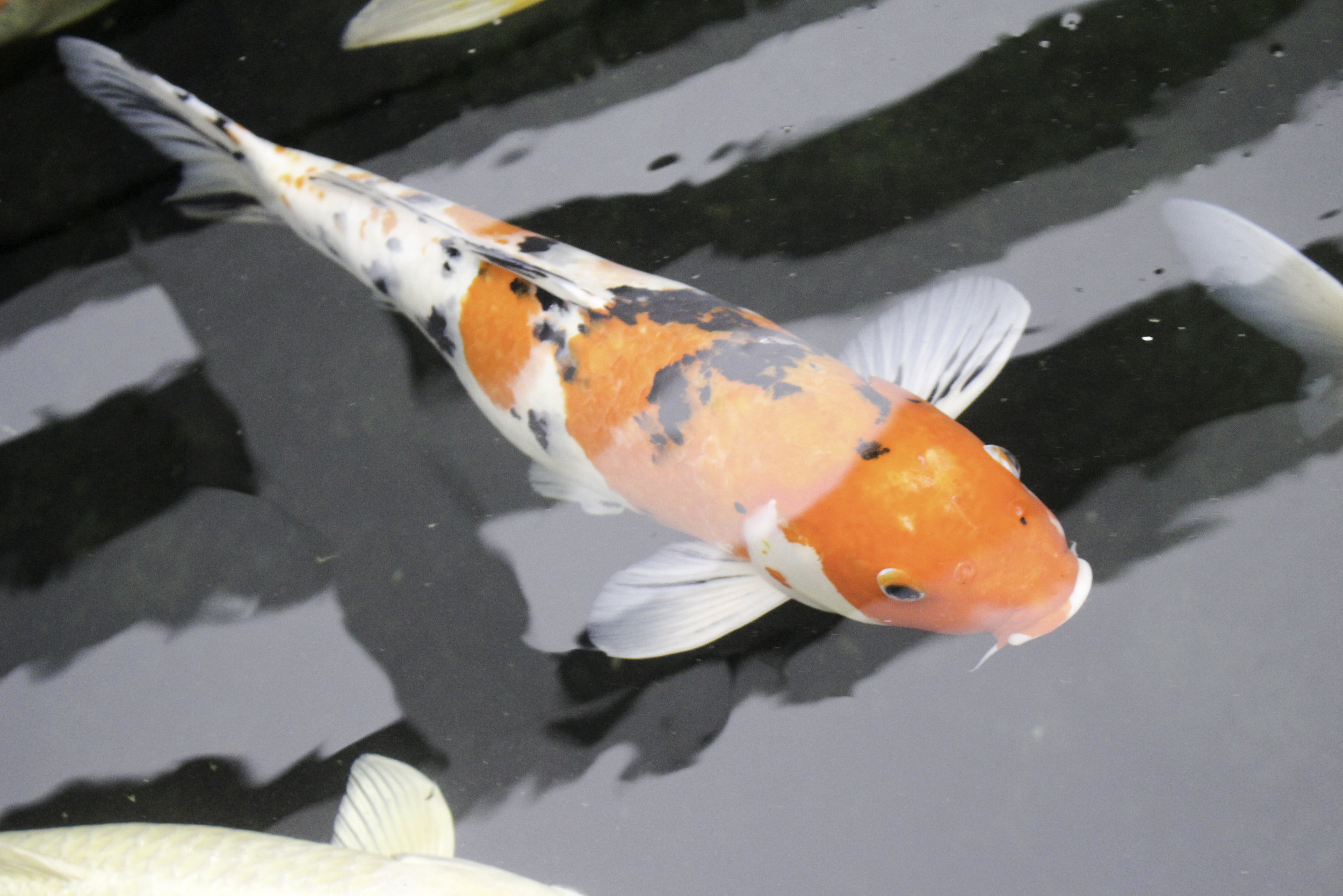 Taisho Sanke koi in an outdoor pond
