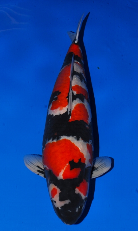 The most expensive koi fish ever sold.