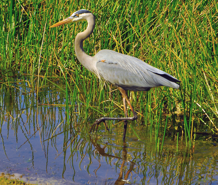 how to protect your koi pond form herons