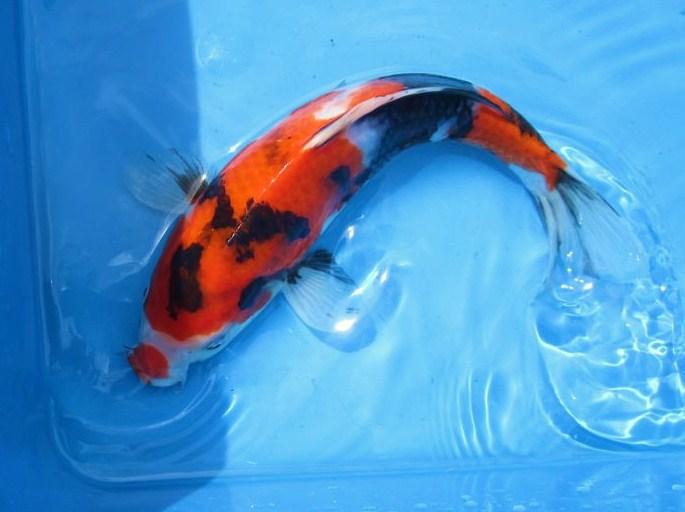 Showa koi fish.jpg