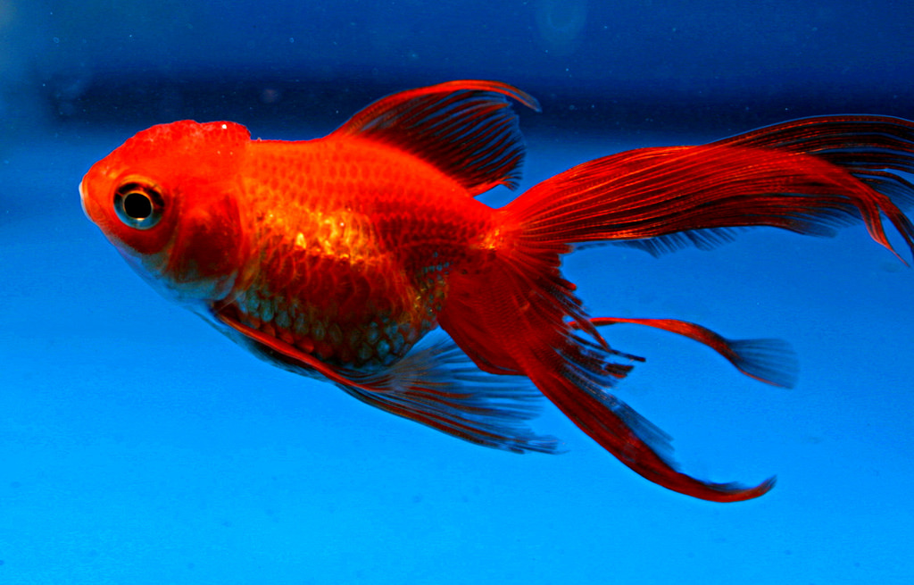 koi vs goldfish.jpg