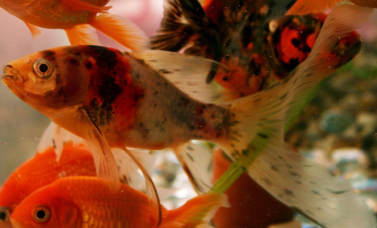 koi vs goldfish color.JPG