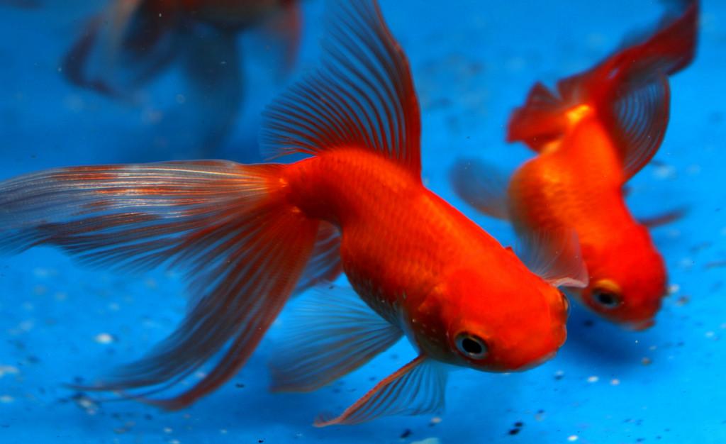 koi vs goldfish body shape.jpg