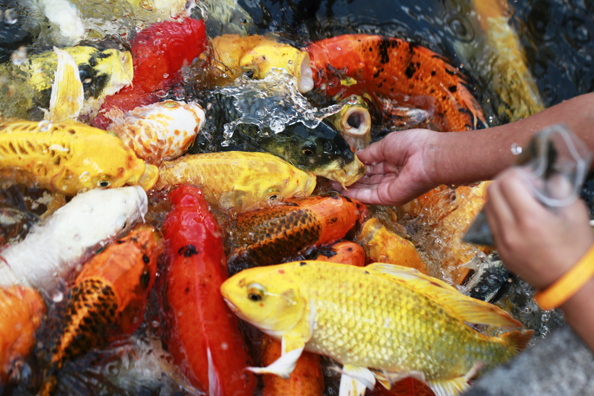 Koi Fish Feeding Tips Recommendations For Healthy Koi Koi Story