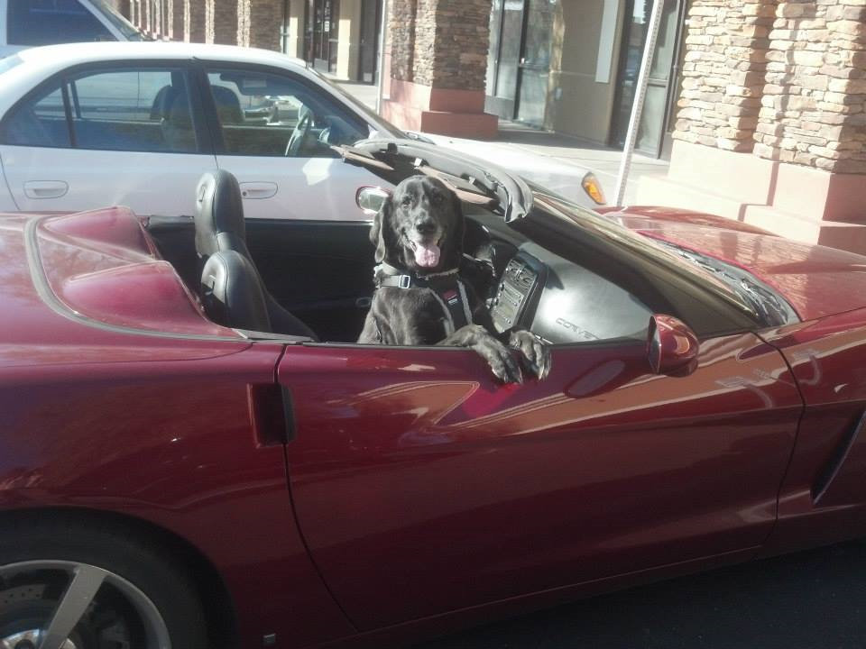Dogs win over cars every day of the week.