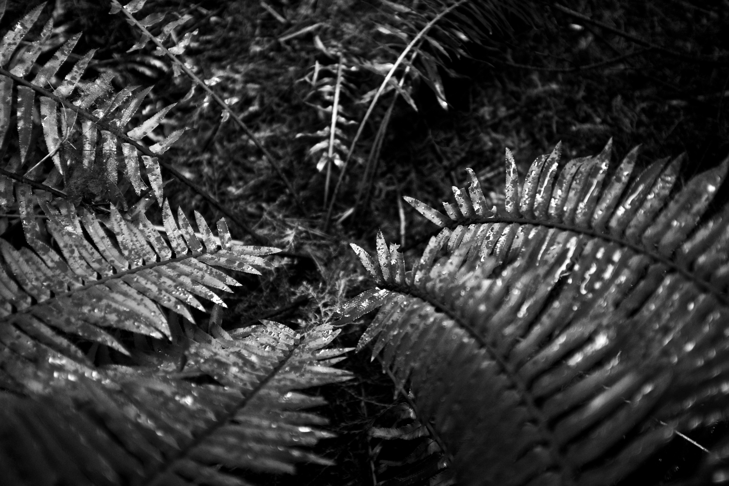 Sawtooth Ferns pointing to the forest floor.  Click image to enlarge.