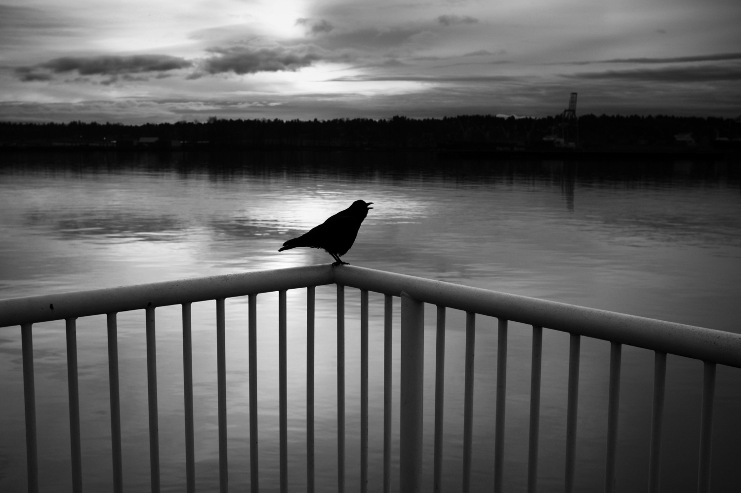 Crow beside the Fraser River at New Westminster Quay  Click image to enlarge.
